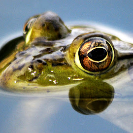 frog eye by Mark Wilson - Animals Reptiles ( water, nature, frog, pond, animal )