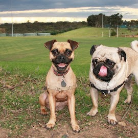 Pups Up Above by Geoffrey Wols - Animals - Dogs Portraits ( grass, high, jug, dog, outside, pug )