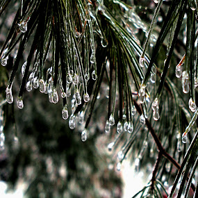 Frozen Alive by Dorothy Koval - Nature Up Close Leaves & Grasses ( pwcfoulweather-dq, ice, drops, pine needles, vermont, winter weather, frozen, Tree, Nature, Sky )