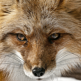 Fox by Daniel Thomas - Animals Other Mammals ( fox, wildlife, animal )