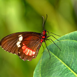 Resting on leave by Michaela Firešová - Animals Insects & Spiders ( butterfly, detail, red, brown )