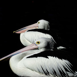 Pelicans by JanDarryl Mcrobie - Novices Only Wildlife