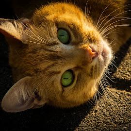 by Ruth Chudaska-Clemenz - Animals - Cats Portraits ( colour, cat, male, cute, portrait )