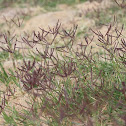 Crab Grass ~ Couch Grass ~ Bermuda Grass