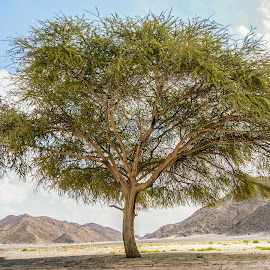 Huge Acacia tree Panorama by Ayman Muhammad Elshahat Ahmad - Landscapes Travel ( #sandstone, #mountain, #huge, #landmark, #light, #nature, #trees, #green, #tree, #water, #big, panorama, #travel, #rocks, #landscape, #sand, #blue, #natural, #lonely, #old, #clouds, #desert, #mountains, #sky )