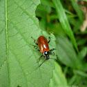 Strongylium Beetle