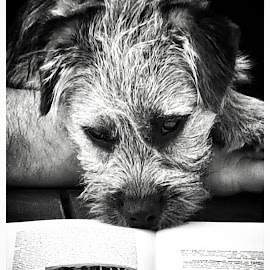 A Good Read  by Alison Wilson - Animals - Dogs Puppies ( reading, black and white, puppy, cute, border terrier, dog, cute dog )