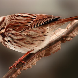Song Sparrow  by Paul Mays - Animals Birds