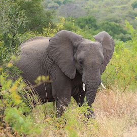 by Mariaan Kitching - Animals Other ( elephant )