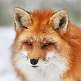 Fox in winter by Mircea Costina - Animals Other Mammals ( mirceax, wild, red, fox, canada, snow, winder, male, wildlife, big, portrait )
