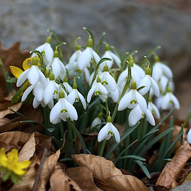 Snowdrops by Helena Jirasová - Nature Up Close Other plants ( snowdrops )