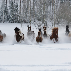 winter wonderland by Minna Mäkinen - Animals Horses