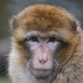 Monkey by David Sheppard - Animals Other ( monkey )