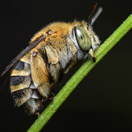 Small bees are relaxed by Djanoear Rahman - Animals Insects & Spiders ( macro, bees, macro photography, insects )