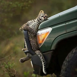 by Marc Baisden - Animals Other ( uganda, adventure, big cats, safari )