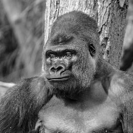 Silverback by Garry Chisholm - Black & White Animals ( gorilla, primate, nature, silverback, garry chisholm )