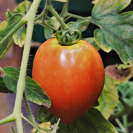 My tomato on the vine by Mary Gallo - Food & Drink Fruits & Vegetables ( garden tomato, fruit, nature, tomato on the vine, tomato, vegetable, my tomato garden )