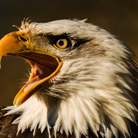 EAGLE by Roman Bjuty - Animals Birds ( eagle, birds )