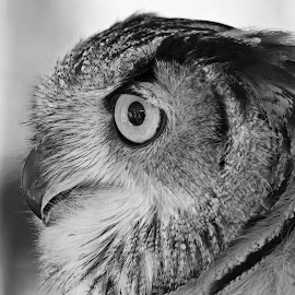 Owl by Ingrid Anderson-Riley - Black & White Animals