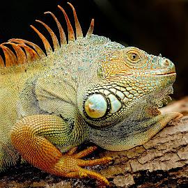 Mon pote l'iguane by Gérard CHATENET - Animals Reptiles