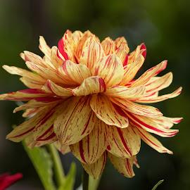 Dahlia 9444 by Raphael RaCcoon - Flowers Single Flower ( dahlia )