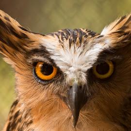 Dark Side by Yana Supriyatna - Animals Birds ( predator, animals, owl, birds )