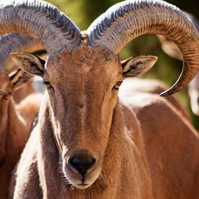 Aoudad male sheep by Scott Thomas - Animals Other Mammals ( mammals, animals, nature, landscape, natural )