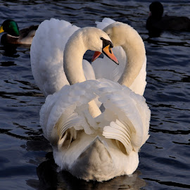 Swanee Love by Nils Rosacker - Animals Birds ( swans, animals, birds, river,  )