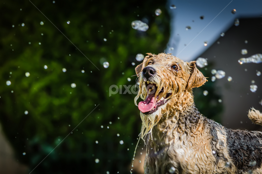 Water fun! by Nardus Taljard - Animals - Dogs Playing ( water, playing, playing dog, dog in water, happy dog, dog )