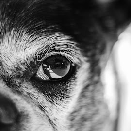 Through the Eye of Bella by Jennifer Spears Goode - Novices Only Macro ( detail, macro, animals, dogs, black and white, dog, closeup, eye, animal )