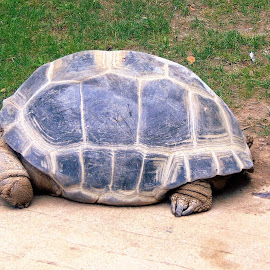 Tortoise by Janice Burnett - Animals Reptiles ( tortoise, endangered species, zoo, slow, reptile )