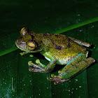 Palm Treefrog