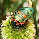 Metallic jewel bug