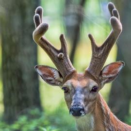 A Buck In The Trees by Sheen Deis - Animals Other Mammals ( deer, bucks, mammals, nature )