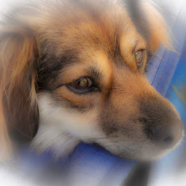 by David  Clayton - Animals - Dogs Portraits ( cute dog, small dog, brown, dog, dog portrait )