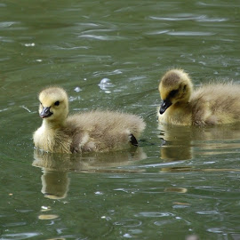 Goslings by Angel Harvey - Novices Only Wildlife ( babies, goslings, geese )