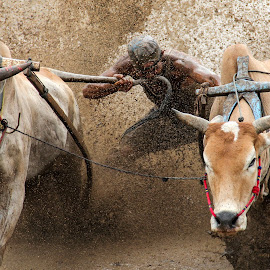 biting speed by Andi Empe - Sports & Fitness Rodeo/Bull Riding ( pacu, traditional race, speed, cow race, traditional, pacu jawi, etnic, race, sumatra barat )