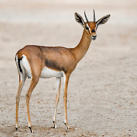 Arabian Gazelle  by Amr Younis - Animals Other Mammals ( animals, desert, gazzelles, arabian gazzelles, dubai )