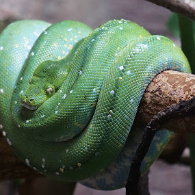 Uneasy Green by Jim Czech - Animals Reptiles ( reptiles, coils, snake, green, reptile, snakes,  )