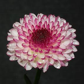 Micro dalhia violet by Gérard CHATENET - Flowers Single Flower (  )