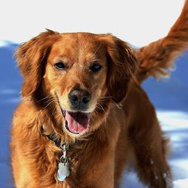 Maggie by Kari Schoen - Animals - Dogs Portraits ( canine, dog, portrait, golden retriever )