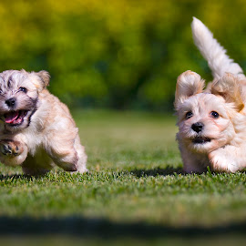 Happy puppies by Luigi Panico - Animals - Dogs Puppies ( play, bichon havanais, happiness, run, running, havana, playing, puppies, bichon, pet, puppy, dog, garden, havanais )
