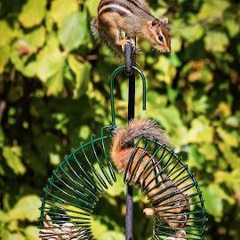 Chipmunks on Feeder by Dave Lipchen - Animals Other Mammals ( peanut, chipmunk, feeder )
