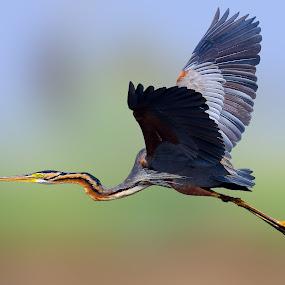 Purple Heron (Ardea Purpurea) by Rahul Chakraborty - Animals Birds (  )