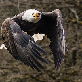 by Ralf  Harimau - Animals Birds ( freisen, eagle, weisskopfseeadler, vogel, adler, white bald eagle,  )