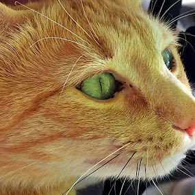 Henriuta by Dobrin Anca - Animals - Cats Portraits ( love, cat, funny, brittany, wonderful,  )