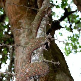 Thorn Tree by Luciana Popa - Nature Up Close Trees & Bushes ( #beautifulnature, #outdoors, #outdoorphotography, #thorn, #nature, #pixoto, #pixotopic, #photocapture, #upclose, #tree, @photography, #wood, #naturephotography, #pic, #image, #upclosepic, #upcloseimage )