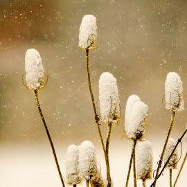 Snow covered Teesle by Wilma Michel - Nature Up Close Other plants ( winter, teesle, plants, snowing, snow covered )