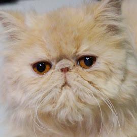 Persian by Sámuel Zalányi - Animals - Cats Portraits ( wcf, cat, temesvár, persian, bánát, pink, exhibition, timisoara, yellow eyes )