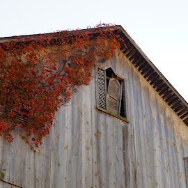 by Beth Collins - Buildings & Architecture Decaying & Abandoned ( roof, old, window, barn, wood, architecture detail, vine, old barn, architecture, abandoned )